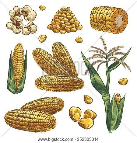 Hand Drawn Corn. Cereal Maize Plants, Sweet Corn Cob And Grains Vegetarian Food, Design For Fast Foo