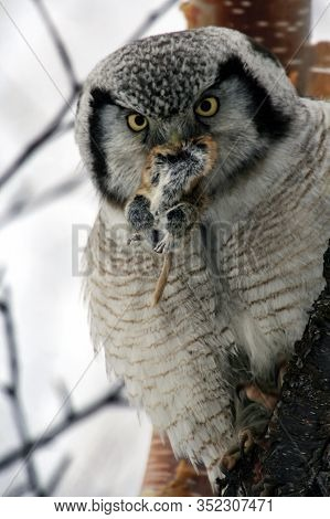 An Owl Holds A Victim In Its Beak. A Hawk Owl With A Lemming In Its Beak. The Predator Caught The Pr