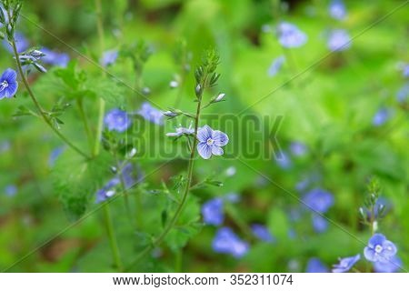 Myosotis Close Up On Blurry Green Background. Flowering Plants In A Spring Wild Meadow. Forget-me-no
