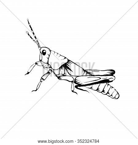 Sketch Design Of Illustration Grasshopper On White Background