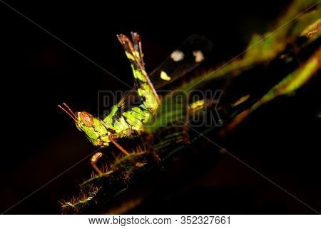 Grasshoppers Close Up. Grasshoppers Are Typically Ground-dwelling Insects With Powerful Hind Legs Wh
