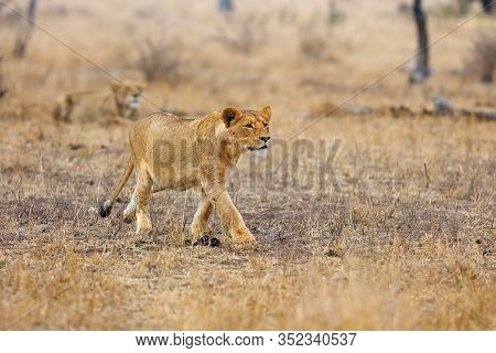 The Southern Lion (panthera Leo Melanochaita) Also The East-southern African Lion Or Eastern-souther