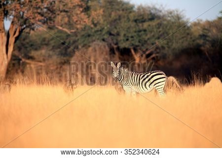 The Plains Zebra (equus Quagga, Formerly Equus Burchellii) In High Yellow Grass In The Morning Light