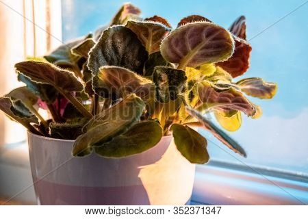 Saintpaulia Leaves (commonly Known As African Violet), Under The Sunlight On A Windowsill.