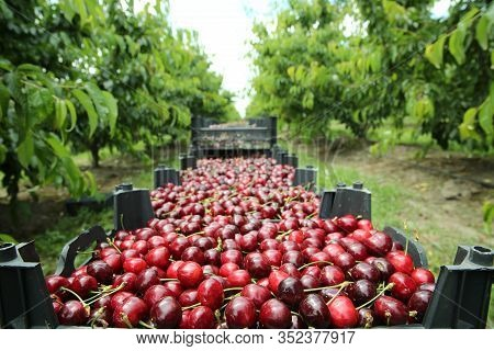 Boxes Of Freshly Picked Lapins Cherries. Industrial Cherry Orchard. Buckets Of Gathered Sweet Raw Bl