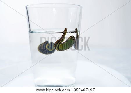 Hirudotherapy. Medical Leeches In A Glass In Water