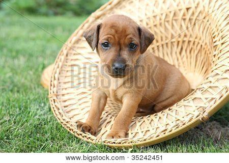 The Miniature Pinscher puppy 1 months old