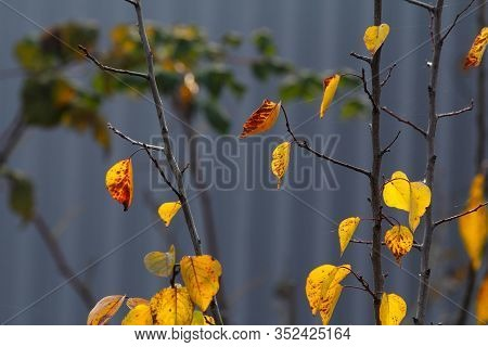 This Is A Young Apricot Tree In Autumn. Bright Yellow Leaves Of An Apricot Tree In The Evening Light
