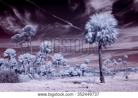 False color infrared photo of palm trees on beach, alien landscape.