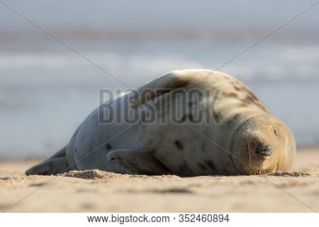 Sleeping Beauty. Wild Seal Asleep On The Beach. Simple Animal Portrait. Peaceful Tranquil Image Of G