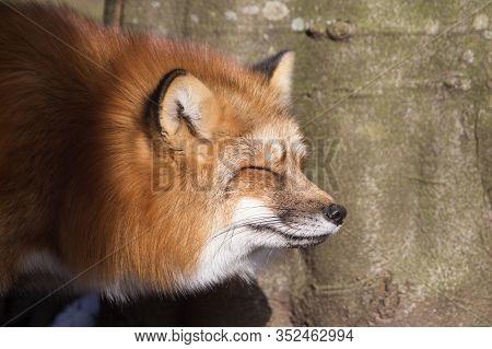 Orange Fox  Outdoors In A Park In Springtime