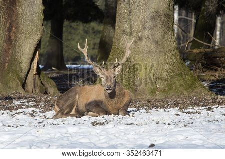 Male Red Deer In A Nowy Forest