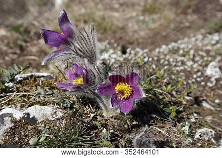Pasque Flowers (pulsatilla Vulgaris) Growing Outdoor In Springtime