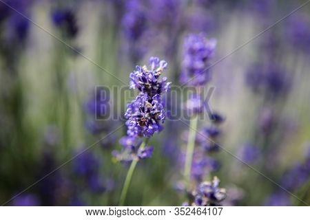 Closeup Of Purple Lavender In A Field