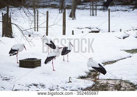 Group Of Storks Sitting Outdoors In Wintry Forest