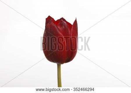 Tulip In Red With A White Background