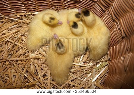 Several Young Warts Ducks In A Basket