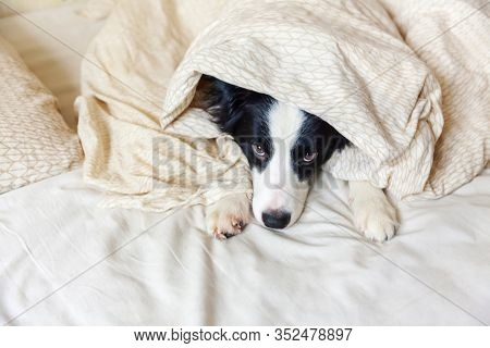 Portrait Of Cute Smilling Puppy Dog Border Collie Lay On Pillow Blanket In Bed. Do Not Disturb Me Le