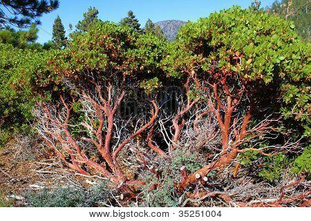 Manzanita Plant