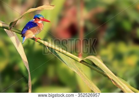 Malachite Kingfisher (corythornis Cristatus) Sitting On A Reed With Green Background By The River. S
