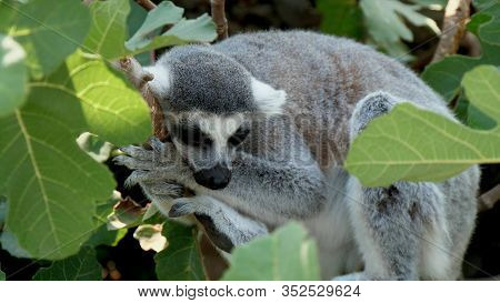 Lemur Sleeps On Its Side, With Its Forepaws Resting Under Its Head On A Thin Tree Branch, Close-up