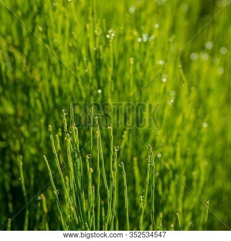 Horsetail Stalks In The Morning In Dew Drops. Summer Season.