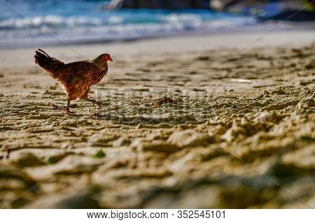 Running Chicken Bovans Brown On The Beach, Baie Lazare Beach, Mahe Island, Seychelles. Gallus Gallus