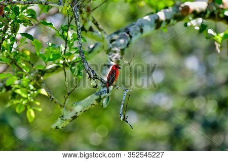A Male Red Fody Bird In Seychelles. The Red Fody Foudia Madagascariensis, Sometimes Known As The Red