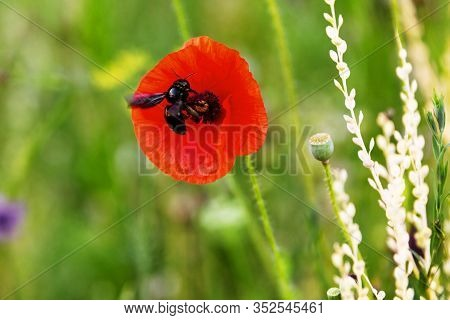 Violet Carpenter Bee Sitting On A Red Papaver Blossom, Wildlife Habitat For A Xylocopa Violacea