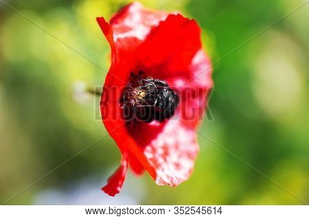 Xylocopa Violacea On A Red Poppy Blossom, Protecting Rare Insects With A Native Wildflower Meadow