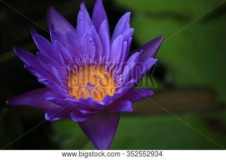 A Beautiful Pink Waterlily Or Lotus Flower