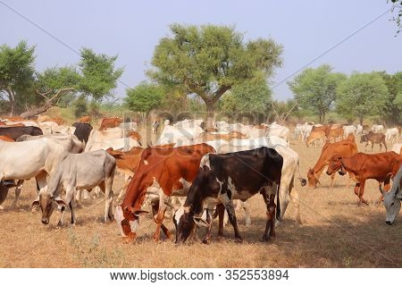 Cattle Are Commonly Raised As Livestock For Meat (beef Or Veal, See Beef Cattle), For Milk (see Dair
