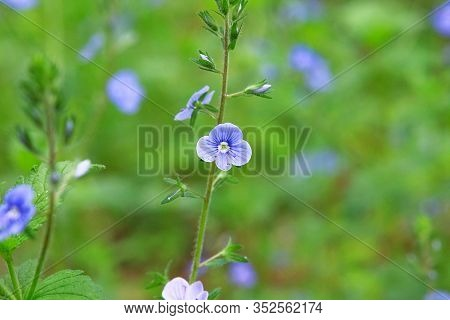 Myosotis Close Up On Blurry Green Background. Flowering Herb In A Spring Wild Meadow. Forget-me-not