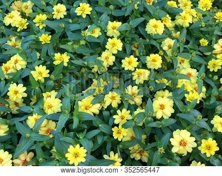 Yellow Zinnia Angustifolia, The Narrow-leaf Zinnia Blooming In The Garden, Hybrids Between Z. Angust