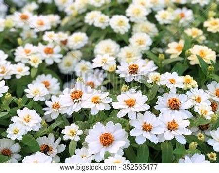 White Zinnia Angustifolia, The Narrow-leaf Zinnia Blooming In The Garden, Hybrids Between Z. Angusti