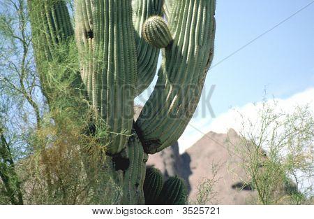 Cactus Close Up With Mtn Peak