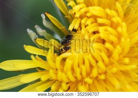 Close-up Of A Dandelion In Nature. Macro Photo Of A Yellow Dandelion On A Green Background