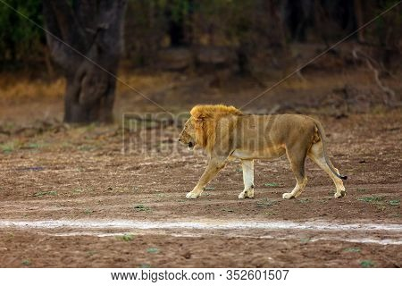 The Southern Lion, Panthera Leo Melanochaita, Or Eastern-southern African Lion. A Large Very Blond D