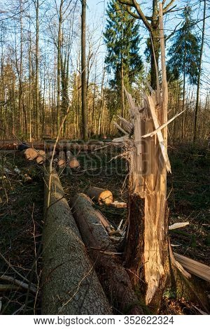 Splintered Tree Trunk In A Forest Next To Cut Logs Sunny Day