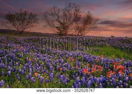 Bluebonnet Filled Meadow On The Ennis Bluebonnet Trail In Ellis County, Texas.