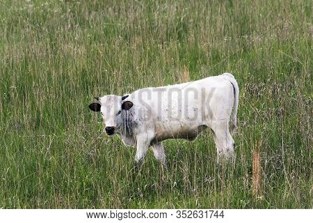 Longhorn Calf At The Wichita Mountains National Wildlife Refuge Near Lawton, Oklahoma