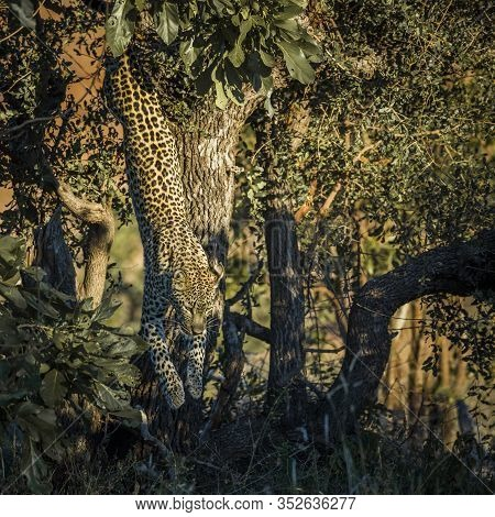 Leopard Jumping Down A Tree In Kruger National Park, South Africa ; Specie Panthera Pardus Family Of