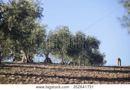 Village Church Bell Tower Appearing At Olive Grove Ground. Rural Landscape In Extremadura, Spain