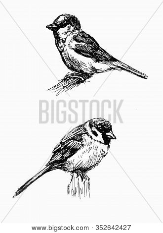 Sparrow. Line Drawings Set. Black And White Vector Illustration