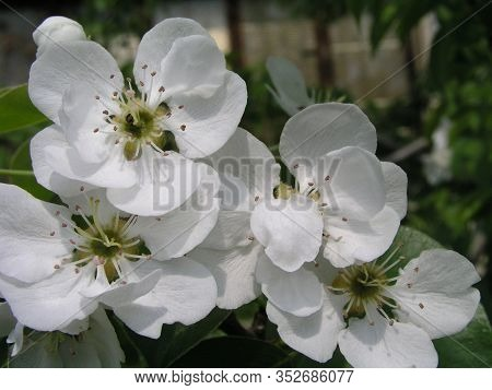 Pear Tree Blossoms, Pyrus Flowers Are White On Branches Against Background Of Leaves In Early Spring