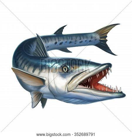 Big Barracuda Fish On White. Sphyraena Barracuda Realistic Illustration Isolate.
