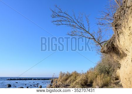 Bare Tree Just Before Falling Down At The Edge Of The Eroded Steep Coast Cliff Of The German Island