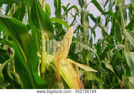 Corn With The Kernels Still Attached To The Cob On The Stalk In Organic Corn Field.