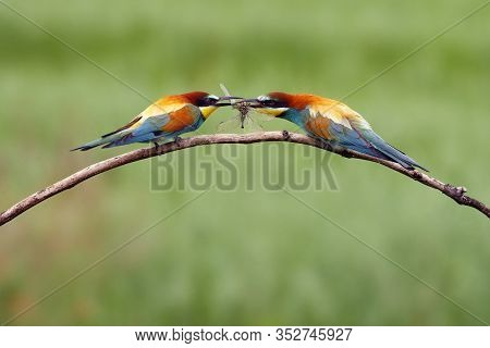 The European Bee-eater (merops Apiaster) Pair On Tree Is Giving The Caught Dragonfly.pair Of Birds W