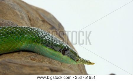 Rhinoceros Ratsnake Or Rhynchophis Boulengeri. Also Known As Rhinoceros Snake, Rhino Rat Snake, Viet